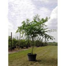 Бундук канадский, мыльное дерево 150-180см