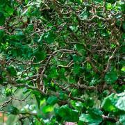 Лещина обыкновенная Конторта c7,5 H100см