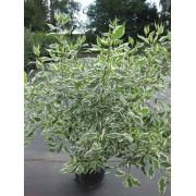 Дерен белый Elegantissima c3 H50см