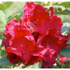 Рододендрон Red Jack 50см с5