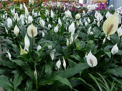 Комнатные растения купить оптом Украина