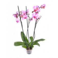 Орхидея Фаленопсис 3 ствола 65см